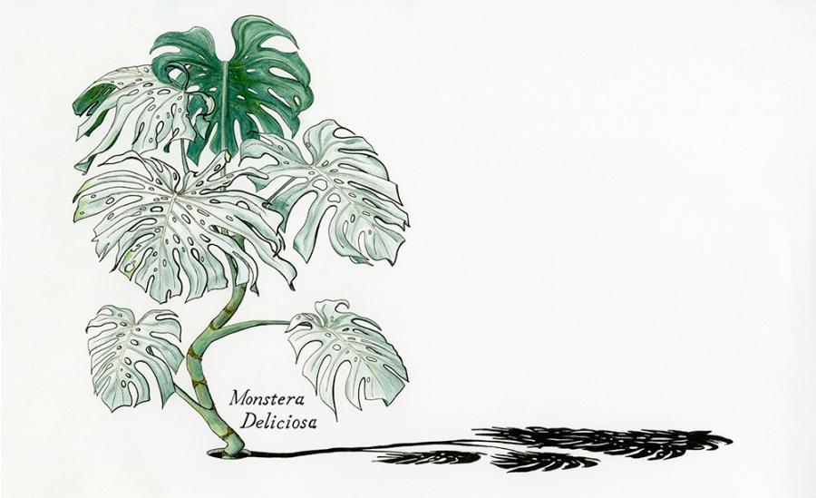 Monstera-Deliciosa